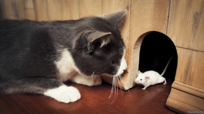 """Urina de gatos tem substância que """"domestica"""" os ratos  (BBC)"""