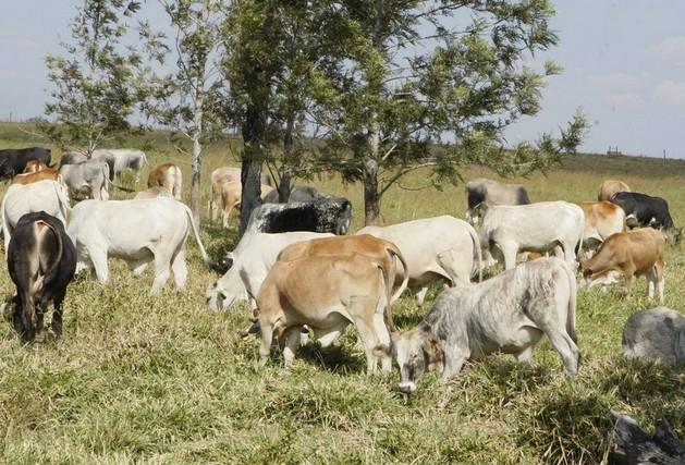 Gado bovino (Foto: Angop)