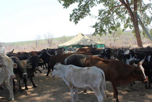 Vinte e cinco mil cabeças de gado podem morrer no Sumbe