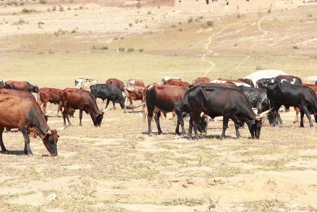 Huambo: Distribuídas 40 cabeças de gado para tracção animal na Caála