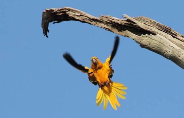 O papagaio guaruba é uma das espécies mais ameaçadas das selvas de Pará. (Foto: D.R.)