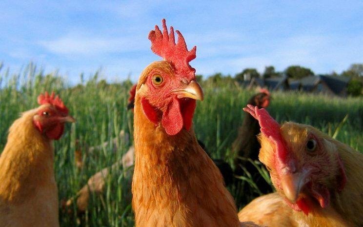 Estudo mostra que galinhas são animais inteligentes e sentimentais
